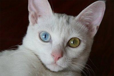 White cat blue green eyes