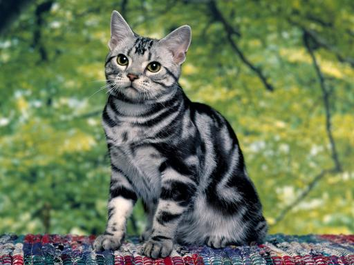 image silver tabby cat 512x384 51 jpg warrior cats the lost