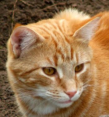 Cat-face-ginger