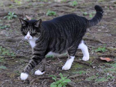 Dark mackerel tabby cat in a park-Hisashi-02A