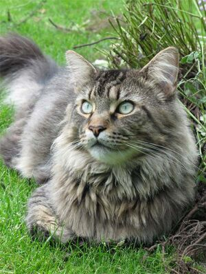 Maine coon cat 4
