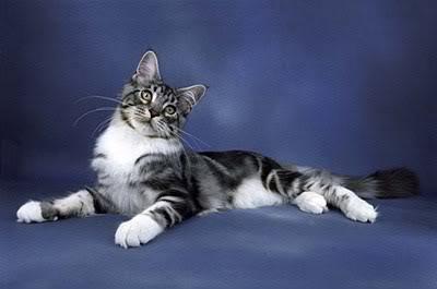 Silvercat2