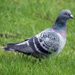 Pigeon-Dove