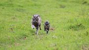 Два кота бегут