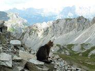 Клановый кот