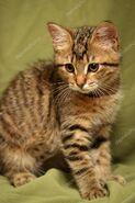 Коричневый полосатый котёнок