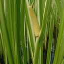 Осока (растение)