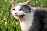 Серо-белый кот зевает