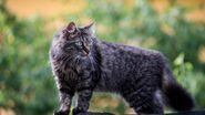 Тёмно-серая полосатая кошка