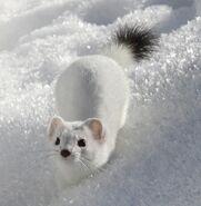Белый горностай в снегу