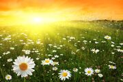 2017Nature Flowers A camomile field in the sun at dawn 118451 (1)