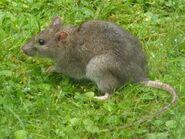 Крыса(3)