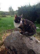 Черепаховая кошка на камне