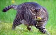Тёмно-серый полосатый кот нюхает цветок