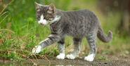 Серо-белый котик идёт по тропке