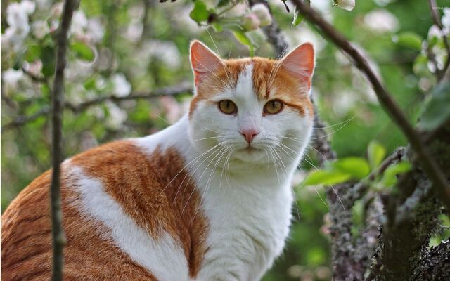 File:White-and-ginger-cat-33784-2560x1600.jpg