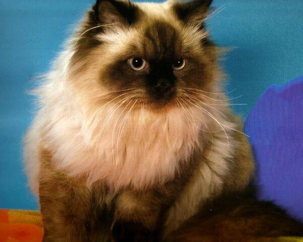 File:Brown-Himalayan-Cat-With-Black-Face.jpg