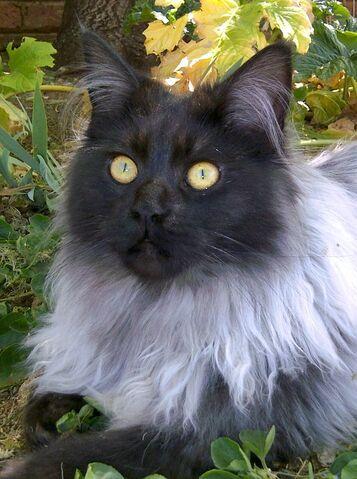 File:34dd5ebc10ad4dc01a8f8c866dfe8186--grey-cats-black-cats.jpg