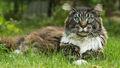 Pheasanttail.life.jpg