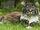 Pheasanttail