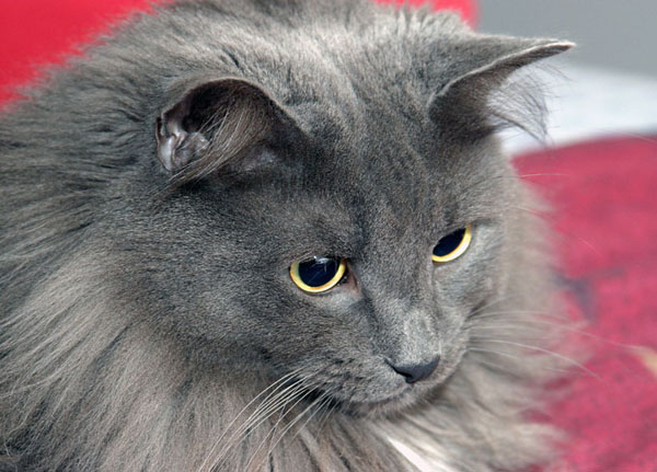 Fluffy White And Grey Cat Smokestar | War...