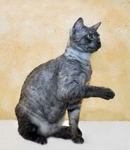 Grey-Black-Egyptian-Mau-Cat-With-Paw-Up-1