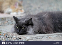 Black-smoke-norwegian-forest-cat-male-resting-on-pavement-PFWE29