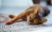 Thumb2-abyssinian-cat-domestic-short-haired-cat-beautiful-brown-cat-egyptian-cat-big-green-eyes