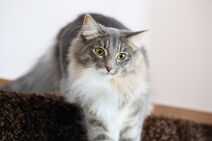 Norwegian-forest-cat-breed