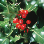 File:HollyBerries.png