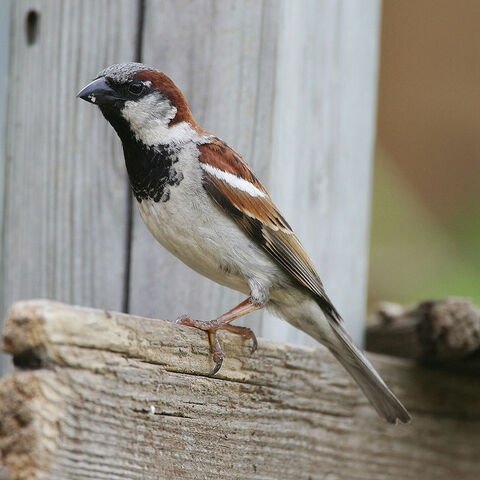 File:Sparrow.jpg