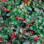 File:Wintergreen.png