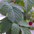 Raspberry Leaves.png