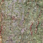 오리나무 껍질