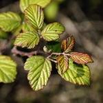 블랙베리 잎