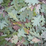 File:Oak Leaf.jpg