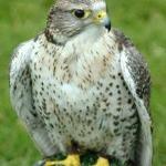 File:Falcon.jpg