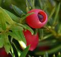 E yew berry full.jpg