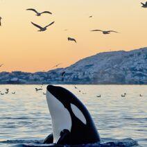 User-animal orca