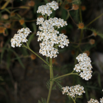 File:Common Yarrow.png
