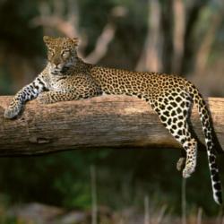 File:Leopard.png