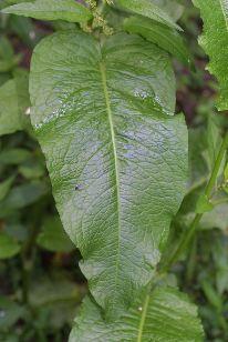 File:Dock leaf.jpg