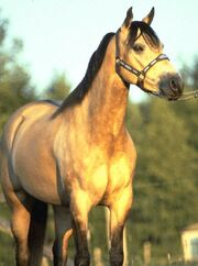 Buckskinhorse