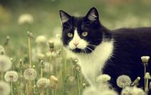 Animals Cats Cat in dandelions 042195