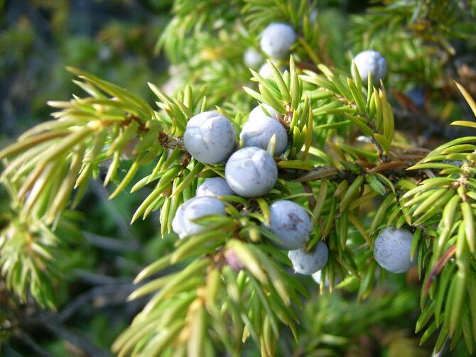 Common juniper berries (Mica B)