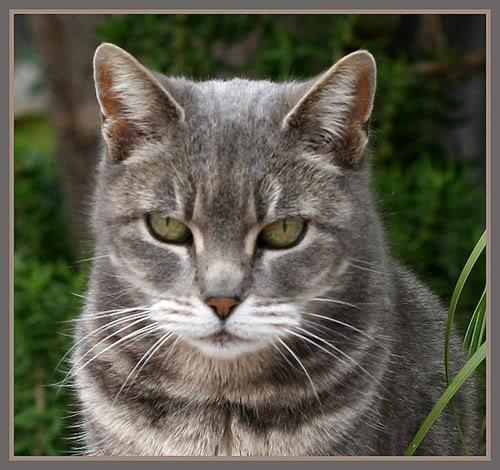 Gray-Cat-Web