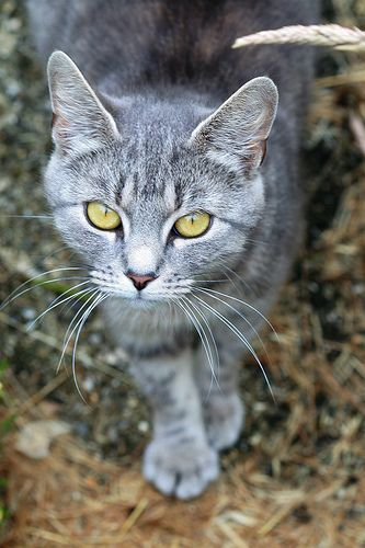 Image result for grey tabby with yellow eyes