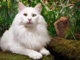 Dovecloud the Leafclan cat