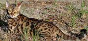 ShadeClan Leopardshade