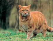 Ginger Cats Front